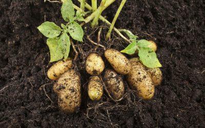 Patates en colère – Comment la culture de la pomme de terre a été dévoyée par l'agrobusiness